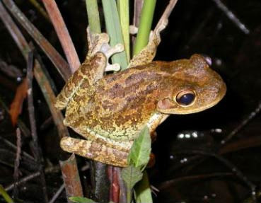 Cuban-Tree-Frog.jpg