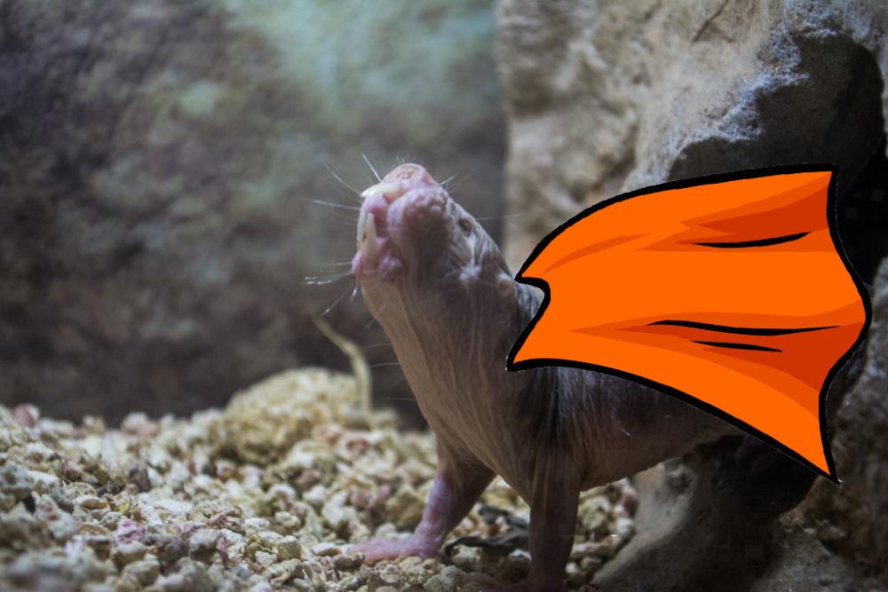 mole-rat_cape.jpg