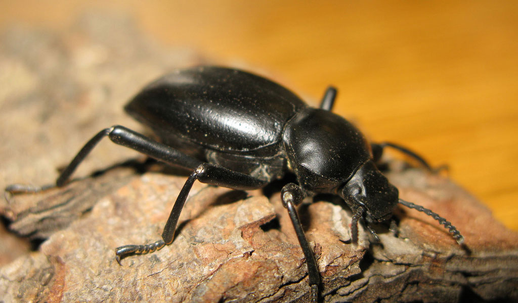 darkling-beetle-1.jpg