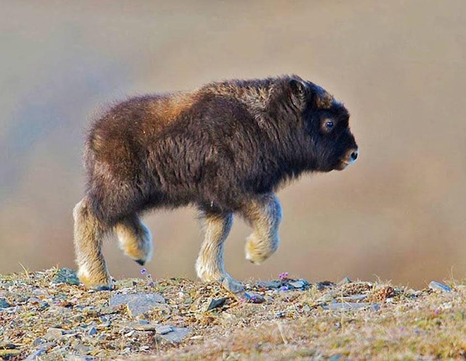 baby buffalo.jpg