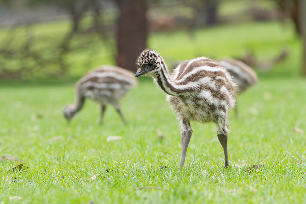 baby emu.jpg