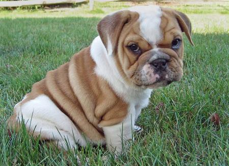 english-bulldog.jpg