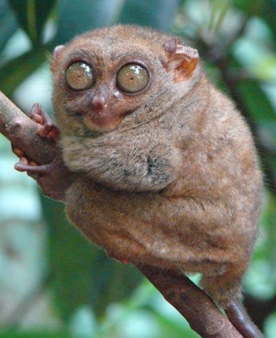 spectral-tarsier.jpg