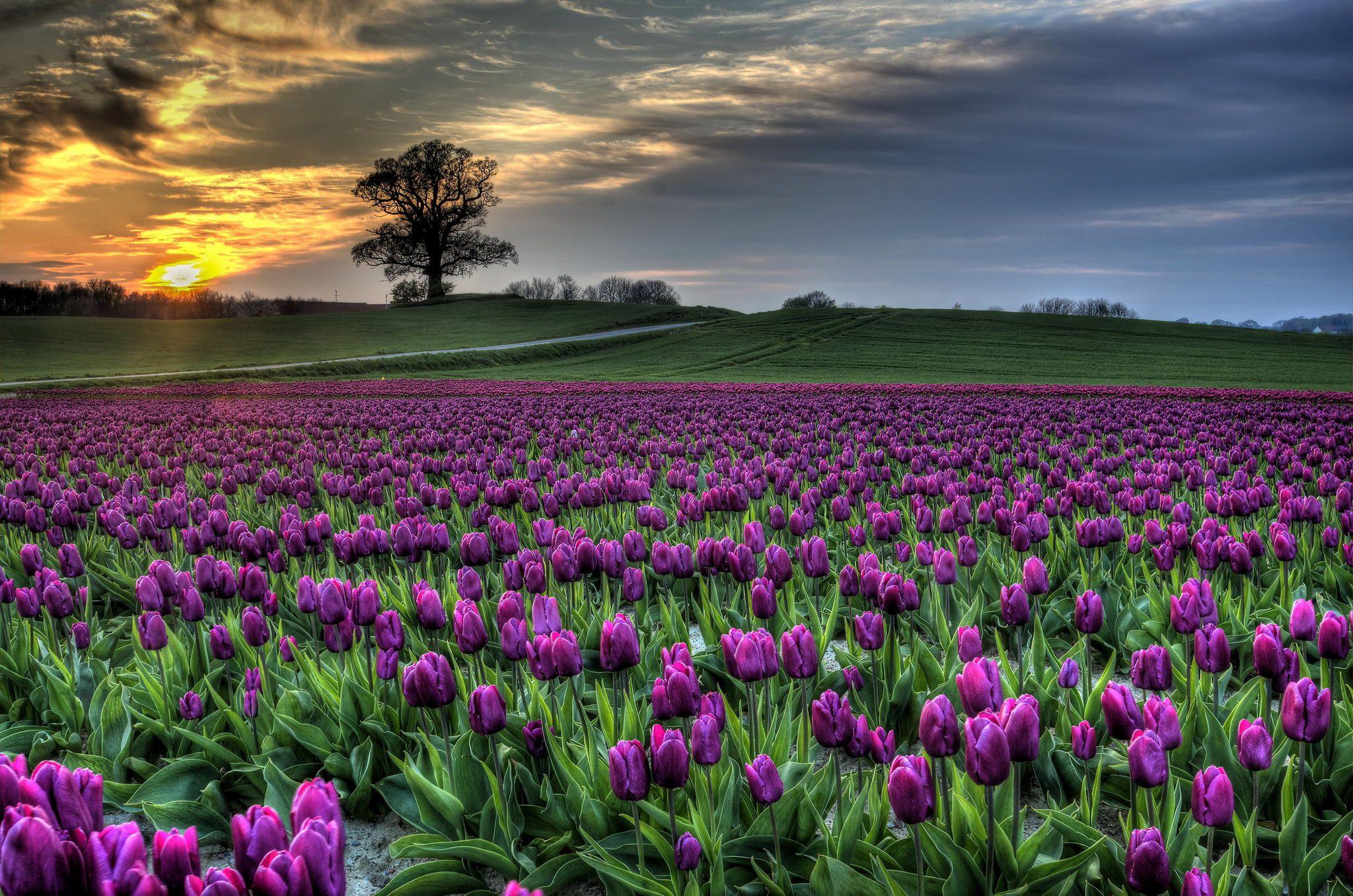 danish tulips.jpg