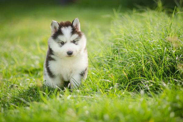 siberian_husky_cute_puppies.jpg