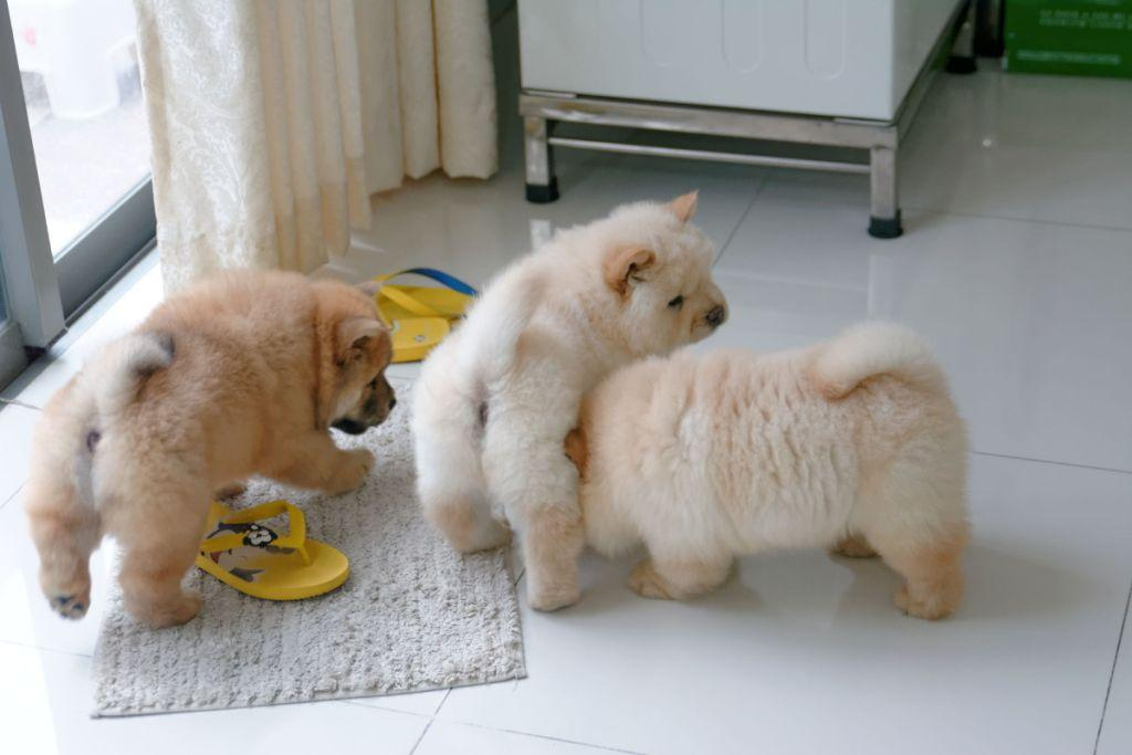 Three-Cute-Chow-Chow-Puppies-Playing.jpg