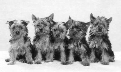 Yorkie Pups.jpg