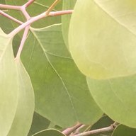 Cosmophylla